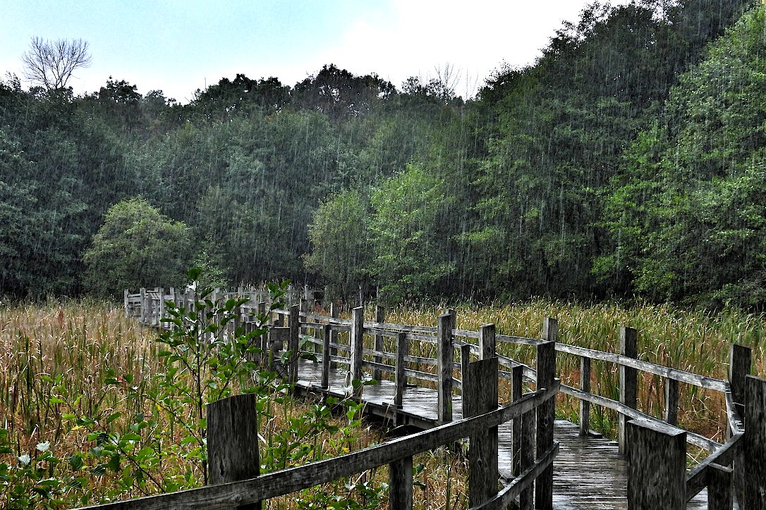 Rain falling in a boardwalk marsh area surrounded by trees