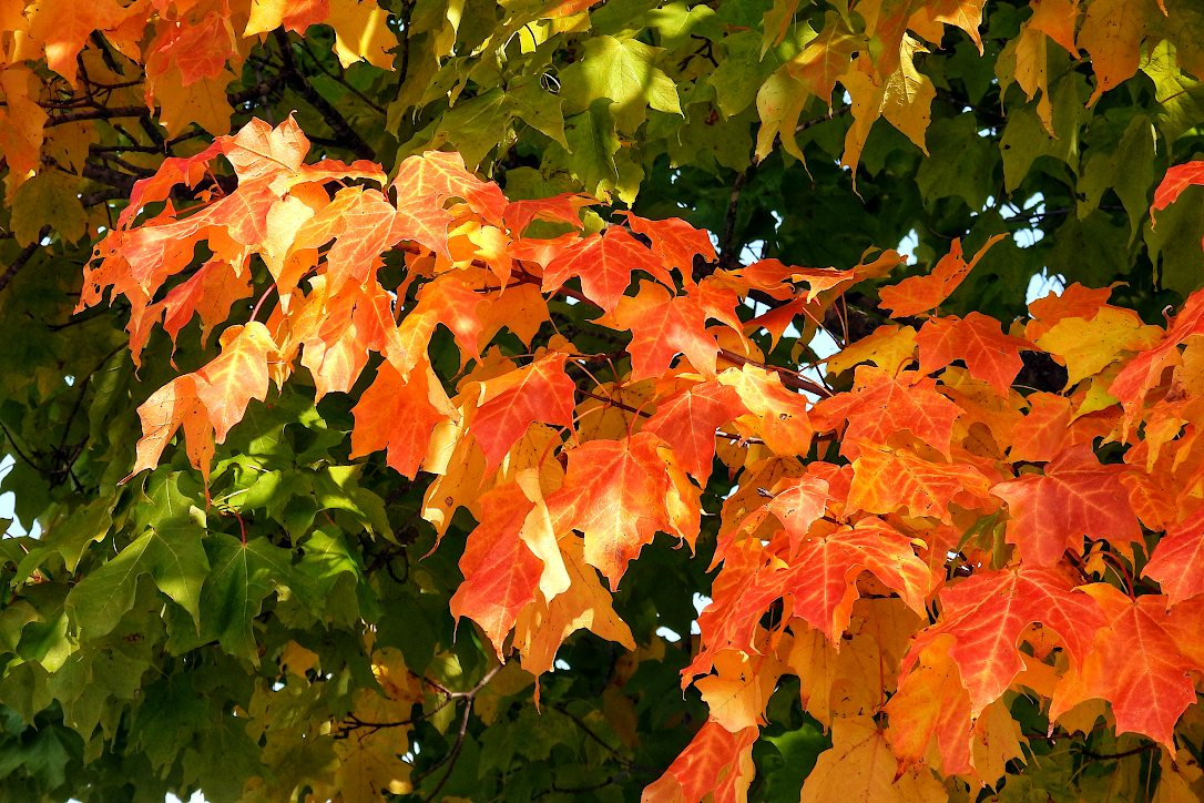 Branch of a maple tree with leaves turning from green to yellow to orange