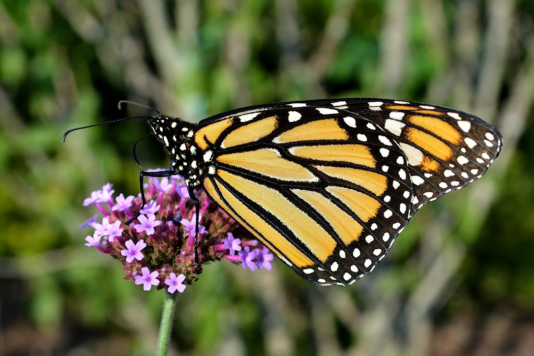 Monarch butterfly on a verbena blossom