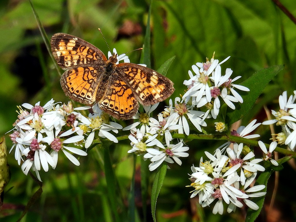 Pearl crescent butterfly perched on a white flower