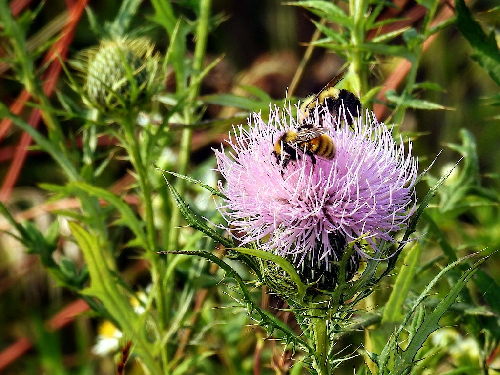 Two bees getting nectar from a purple thistle blossom
