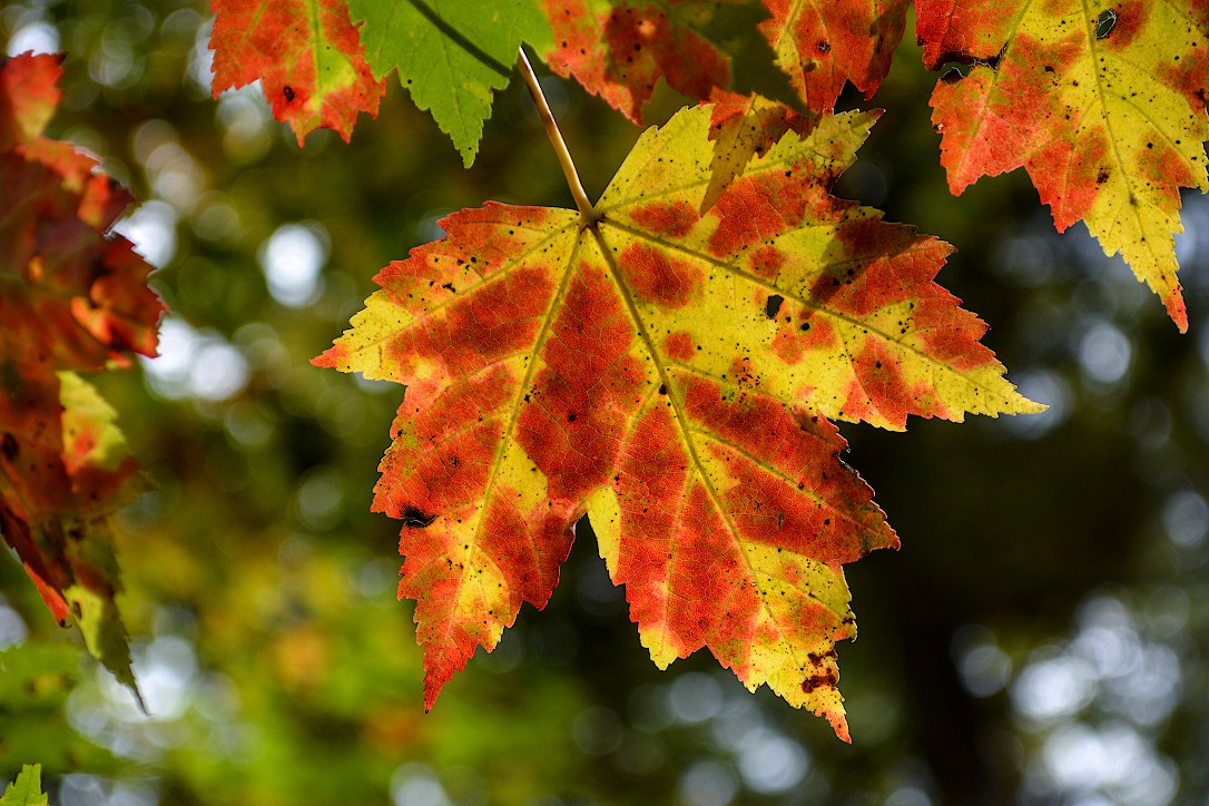 Yellow maple leaf with growing red spots