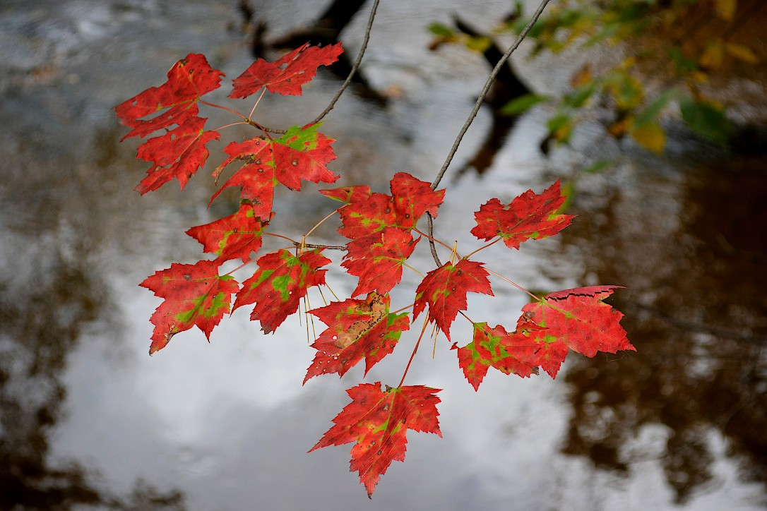 Branch of red maple leaves with green spots hanging over a pond