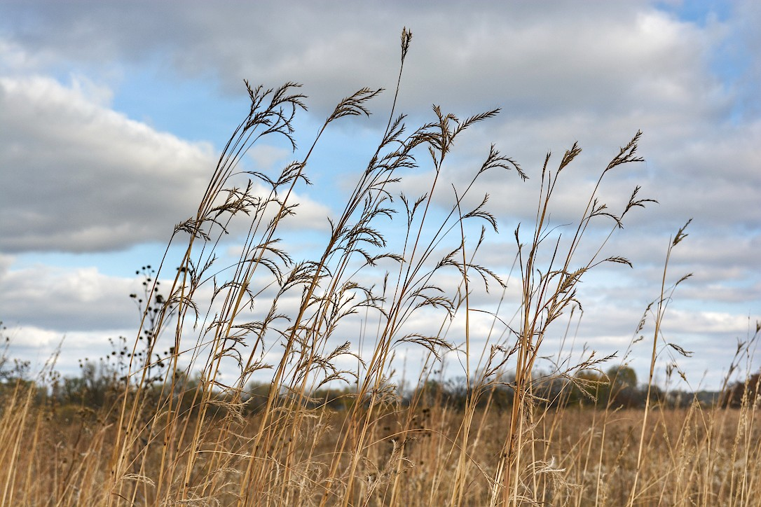 Tall prairie grass bending in the wind in front of a partly cloudy sky