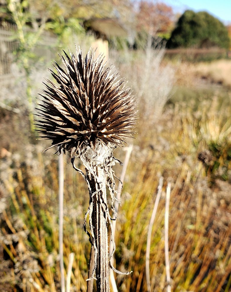 closeup of a dried coneflower head and stalk