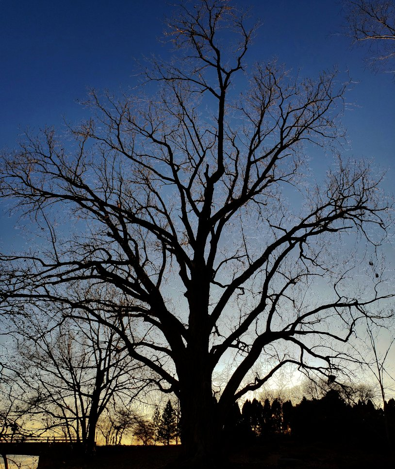 Silhouette of a large cottonwood tree in front of a dark blue sky with a hint of yellow sunset on the horizon