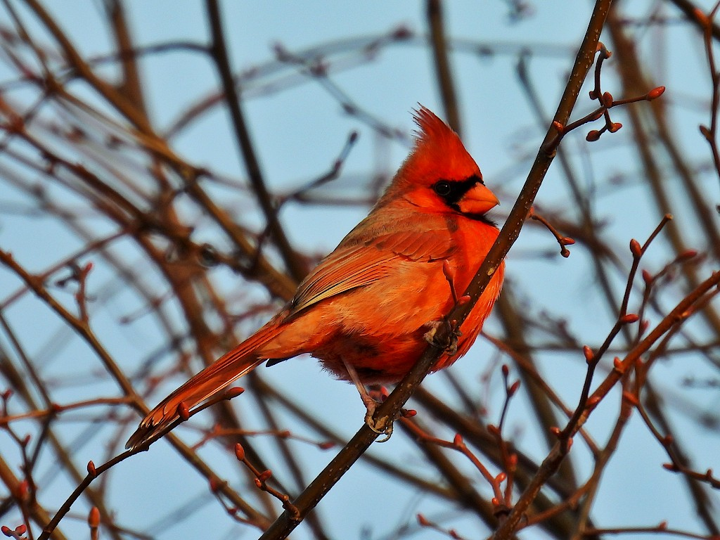 A red cardinal perched in the middle of some branches