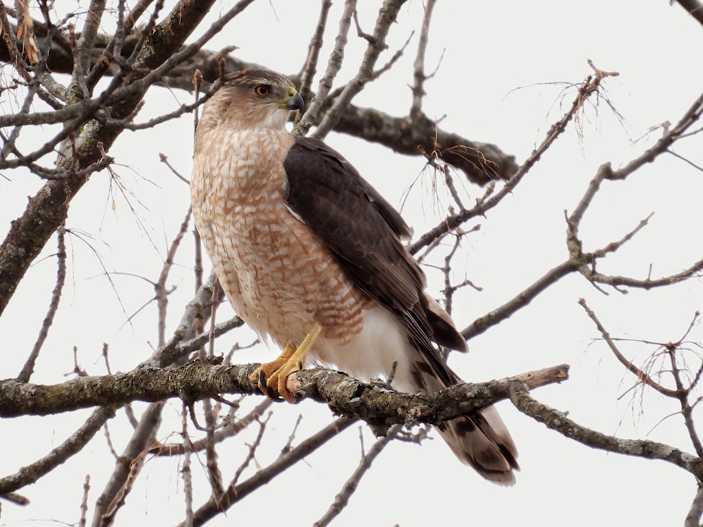 Cooper's hawk perched on a tree branch looking over their shoulder to the right