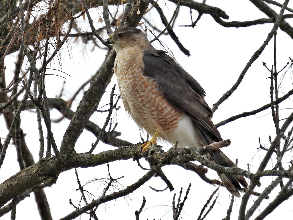 Cooper's hawk perched on a tree branch looking to the left