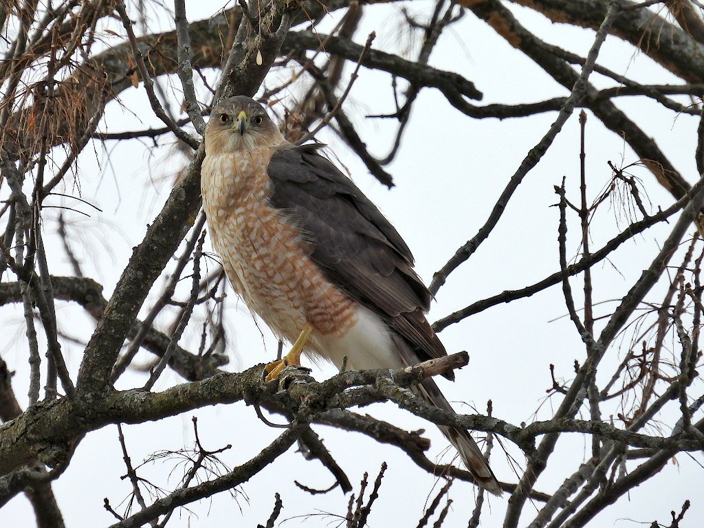Cooper's hawk perched on a tree branch looking straight at the camera