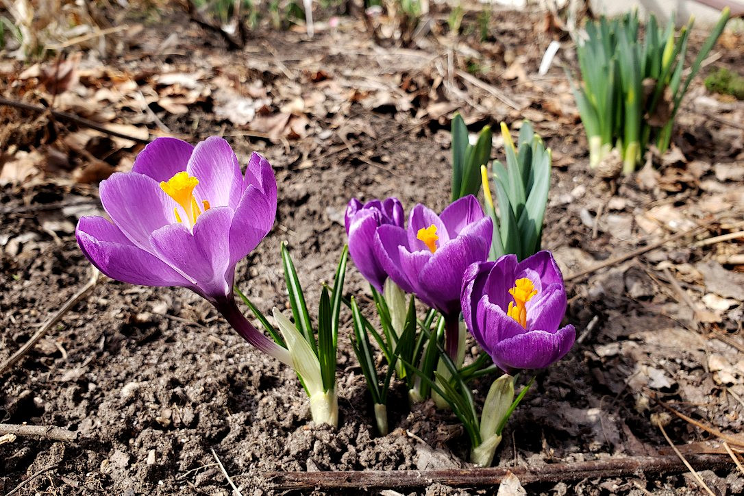 Purple crocus flowers with yellow stamens growing up through the dirt