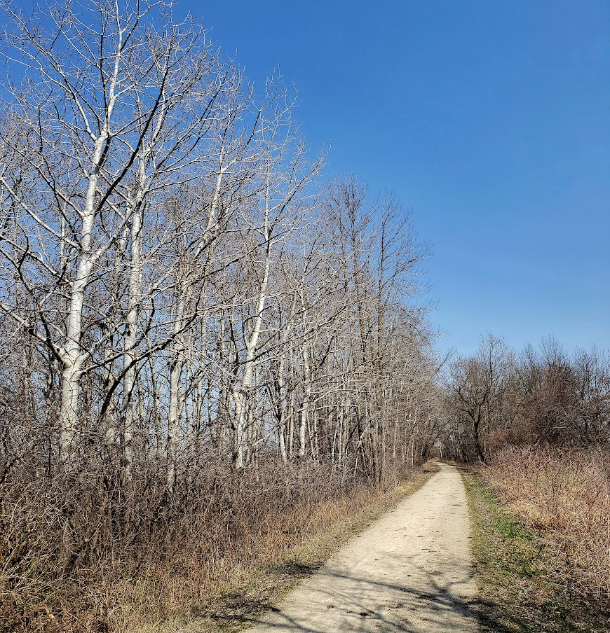 Recreational trail leading along a grove of bare white aspen trees